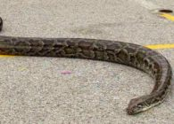 Τρόμος στον Βόλο: Φίδι 1,5 μέτρου βόλταρε σε αυλή σπιτιού – Δεν το «έφταναν» οι πυροσβέστες