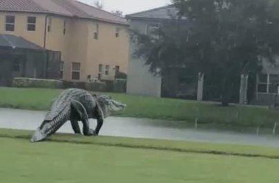 Τεράστιος αλιγάτορας πιάστηκε σε κάμερα! VIDEO